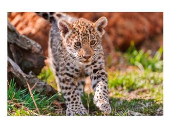 Obraz malého geparda (K010832K9060)