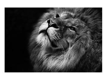 Černobílý obraz lva (K012767K9060)