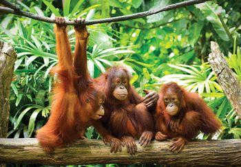 Foto tapeta - Orangutani u džungli (T030201T254184A)