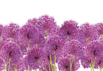 Fototapeta - Květ česneku (T030902T368280A)