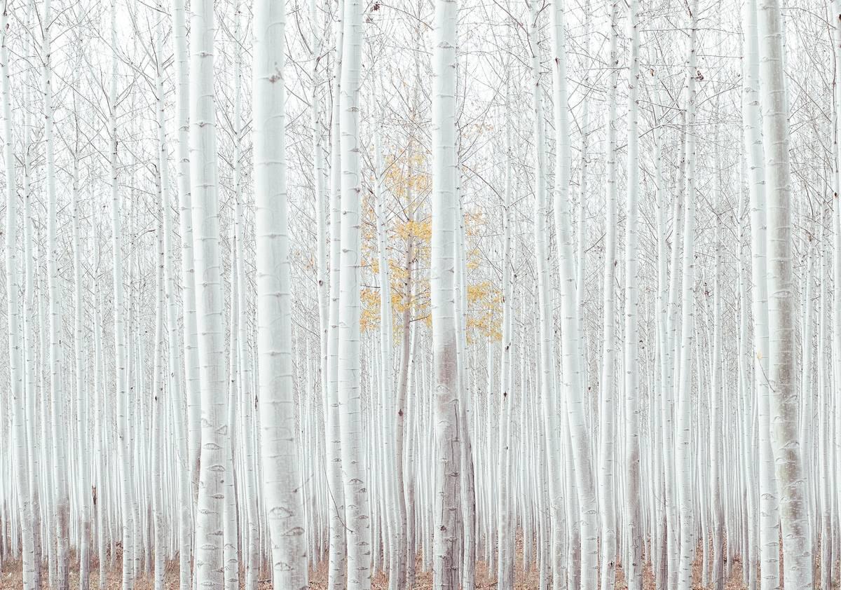 Fototapet - Pădure - albă (T031413T1525104B)