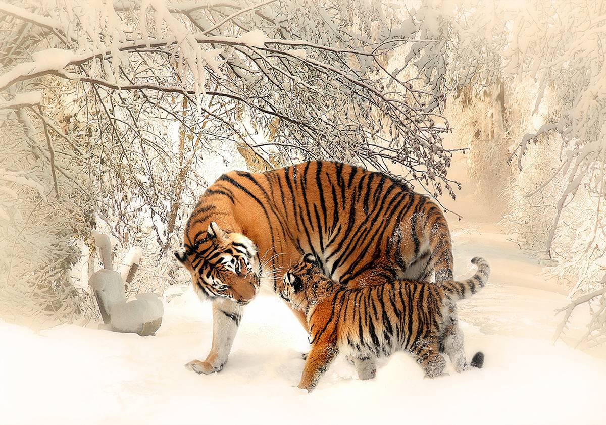 Fototapeta - Tygři na sněhu (T031609T368280A)