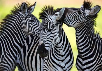 Fototapeta - Tři zebry (T032747T184254A)