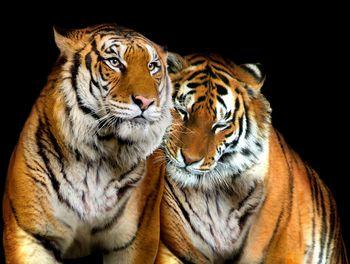 Fototapeta - Tigre (T032843T368280A)