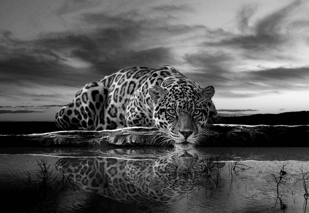 Fototapet - Jaguar târâtor în alb și negru (T032889T1525104B)