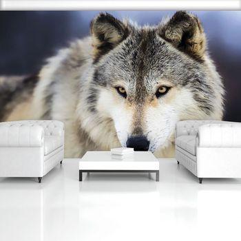 Fototapeta - Sněžný vlk (T033530T254184A)
