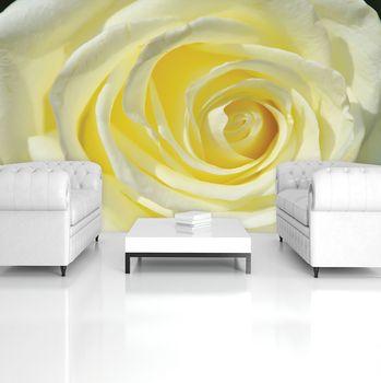 Fototapeta - Žltkastá ruža (T034461T254184A)