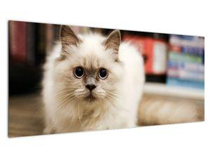 Obraz bílé kočky (V021124V10040)