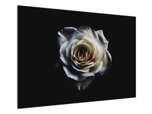 Obraz bílé růže (V020370V10070)