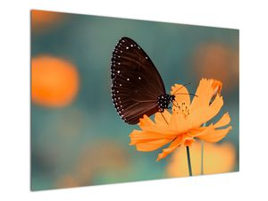 Obraz - motýl na oranžové květině (V020577V10070)