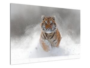 Obraz bežiaceho tigra v snehu (V020719V10070)