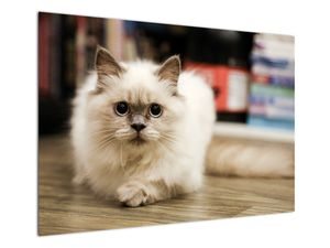 Obraz bílé kočky (V021124V10070)