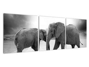 Obraz - černobílí sloni (V020398V12040)