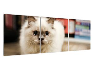 Obraz bílé kočky (V021124V12040)