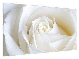 Slika bijele ruže (V021208V12070)
