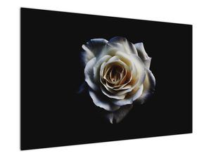 Obraz bílé růže (V020370V12080)