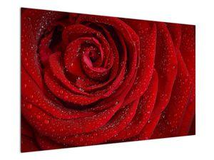 Obraz - detail růže (V020684V12080)