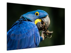 Obraz papouška (V020714V12080)
