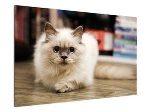 Obraz bílé kočky (V021124V12080)