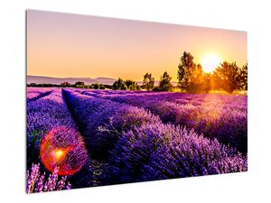 Obraz levandulového pole, Provence (V021590V12080)