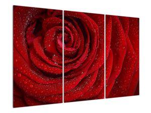 Obraz - detail růže (V020684V120803PCS)
