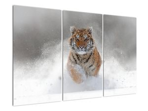 Obraz běžícího tygra ve sněhu (V020719V120803PCS)