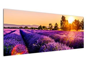 Obraz levandulového pole, Provence (V021590V14558)
