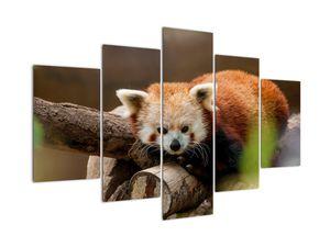 Obraz pandy červené (V020184V150105)