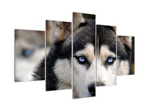 Slika haski psa (V020526V150105)