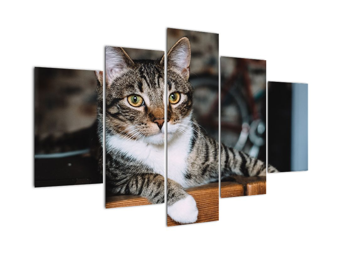 Obraz kočky (V020889V150105)