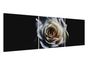 Obraz bílé růže (V020370V15050)
