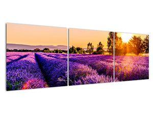 Obraz levandulového pole, Provence (V021590V15050)