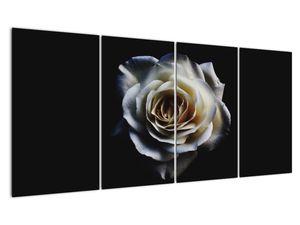 Obraz bílé růže (V020370V16080)