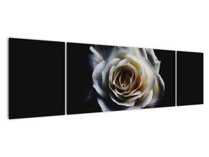 Obraz bílé růže (V020370V17050)