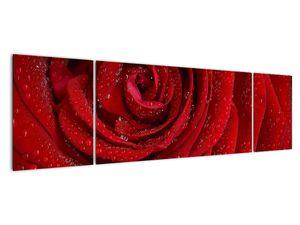 Obraz - detail růže (V020684V17050)