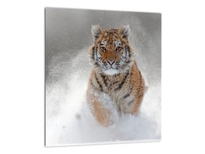Obraz bežiaceho tigra v snehu (V020719V3030)