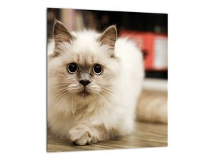 Obraz bílé kočky (V021124V3030)