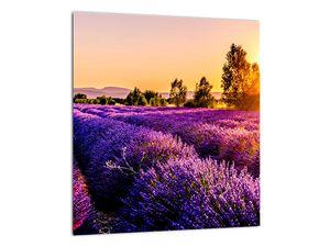 Obraz levandulového pole, Provence (V021590V3030)