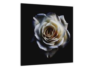 Obraz bílé růže (V020370V4040)