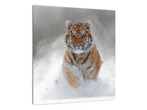 Obraz běžícího tygra ve sněhu (V020719V4040)
