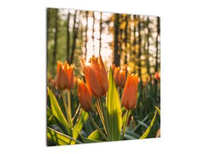 Obraz - oranžové tulipány (V020552V5050)