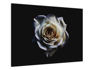 Obraz bílé růže (V020370V7050)