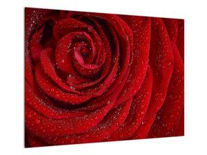Obraz - detail růže (V020684V7050)