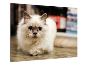 Obraz bílé kočky (V021124V7050)