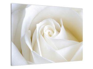 Slika bijele ruže (V021208V7050)