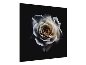 Obraz bílé růže (V020370V7070)