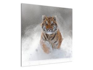Obraz bežiaceho tigra v snehu (V020719V7070)