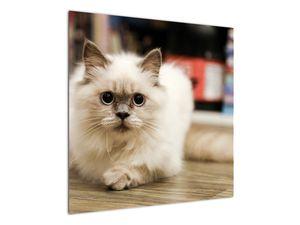 Obraz bílé kočky (V021124V7070)