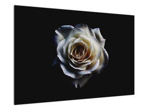 Obraz bílé růže (V020370V9060)