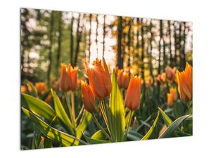 Obraz - oranžové tulipány (V020552V9060)